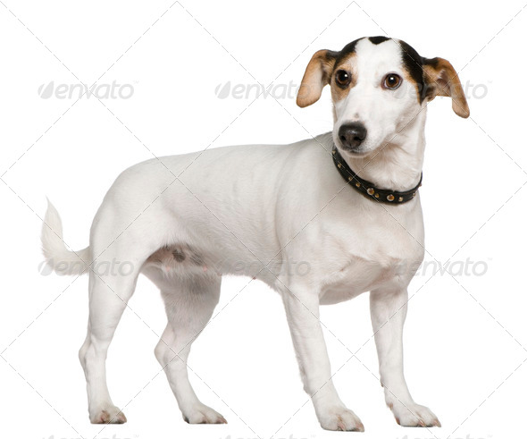 Jack Russell Terrier, 3 years old, standing in front of white background - Stock Photo - Images