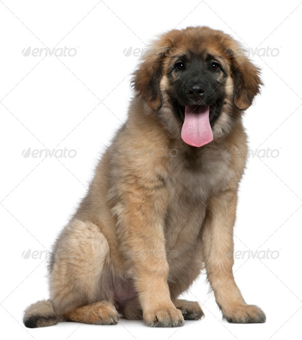 Leonberger, 4 months old, sitting in front of white background - Stock Photo - Images