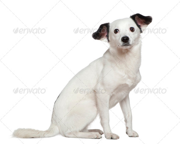 Mixed-breed dog, 3 years old, sitting in front of white background - Stock Photo - Images