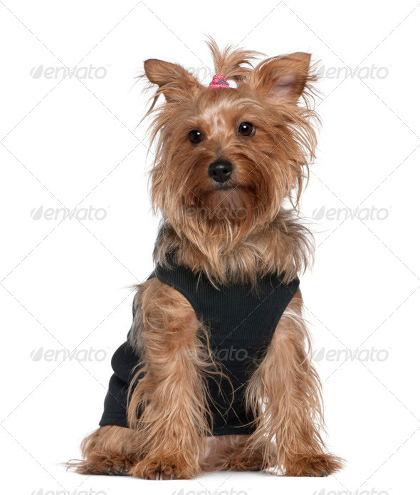 Yorkshire terrier, 5 years old, sitting in front of white background - Stock Photo - Images