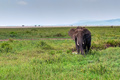 African elephant or Loxodonta cyclotis in nature - PhotoDune Item for Sale