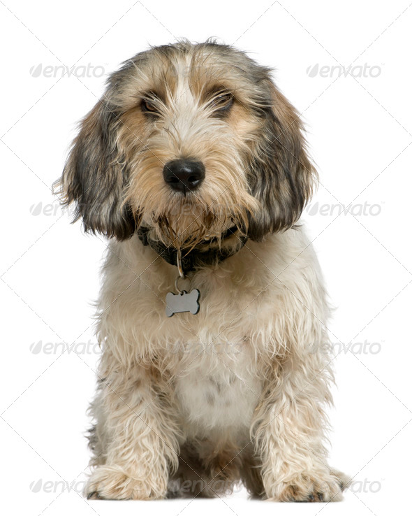 Petit Basset Griffon Vendéen, 7 months old, sitting in front of white background - Stock Photo - Images