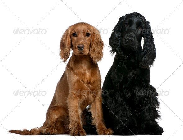 Two English Cocker Spaniels, 10 months and 6 months old, sitting in front of white background - Stock Photo - Images