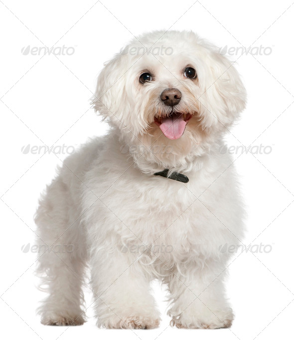 Bichon frise, 13 and a half years old, standing in front of white background - Stock Photo - Images