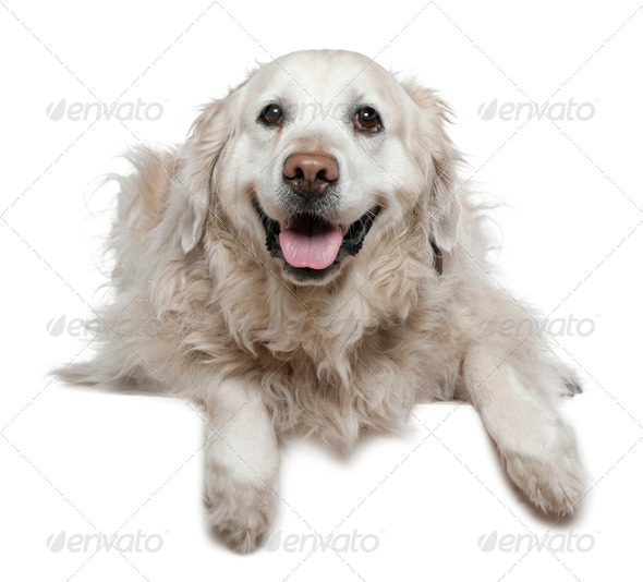 Labrador Retriever, 6 and a half years old, lying in front of white background - Stock Photo - Images