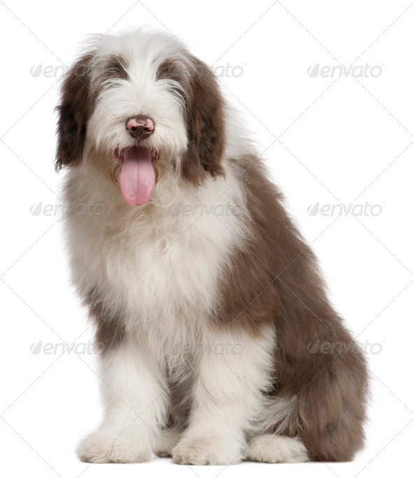 Bearded Collie, 4 and a half months old, sitting in front of white background - Stock Photo - Images