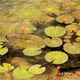 Lotus In The Pond - VideoHive Item for Sale