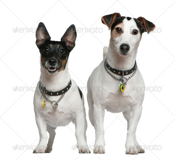 Two Jack Russell Terriers, 3 years old and 4 years old, standing in front of white background - Stock Photo - Images