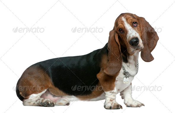 Basset hound, 22 months old, sitting in front of white background - Stock Photo - Images