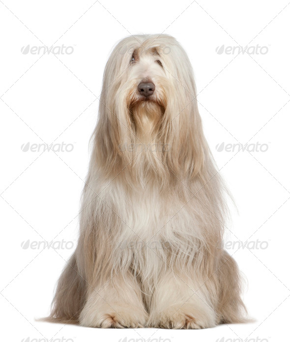 Bearded Collie, 6 years old, sitting in front of white background - Stock Photo - Images