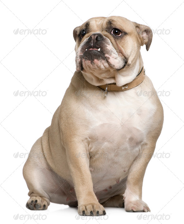 English Bulldog, 15 months old, sitting in front of white background - Stock Photo - Images