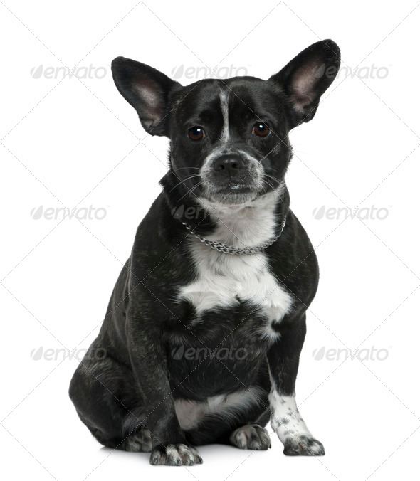 Mixed bulldog, 3 years old, sitting in front of white background - Stock Photo - Images