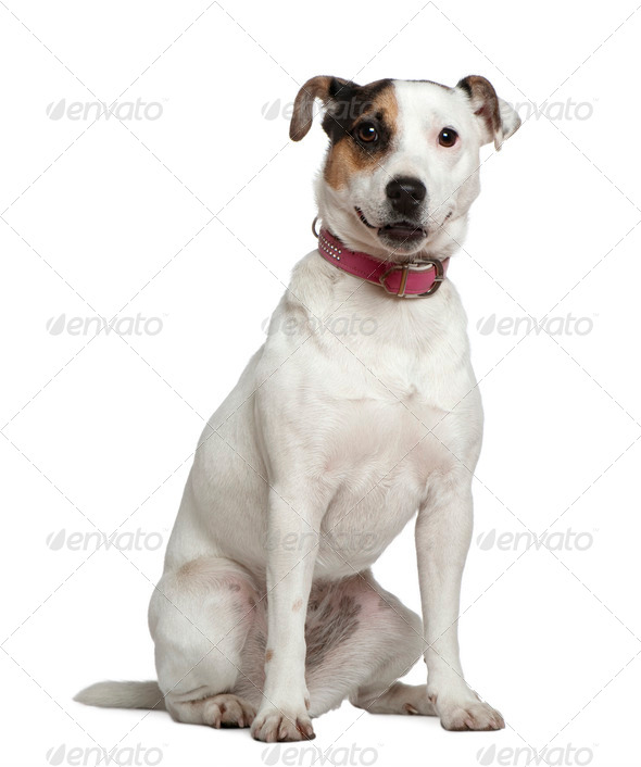 Jack Russell Terrier, 1 and a half years old, sitting in front of white background - Stock Photo - Images