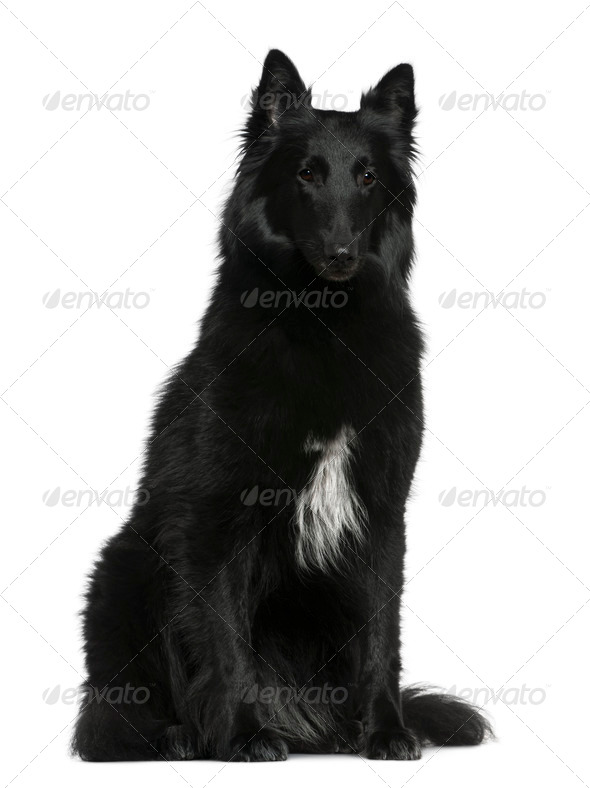 Belgian Shepherd dog, Groenendael, 2 years old, sitting in front of white background - Stock Photo - Images