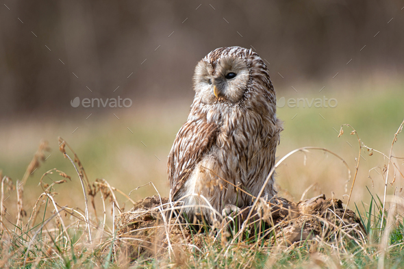 Ural Owl (Strix Uralensis) standing on a tree stump - Stock Photo - Images