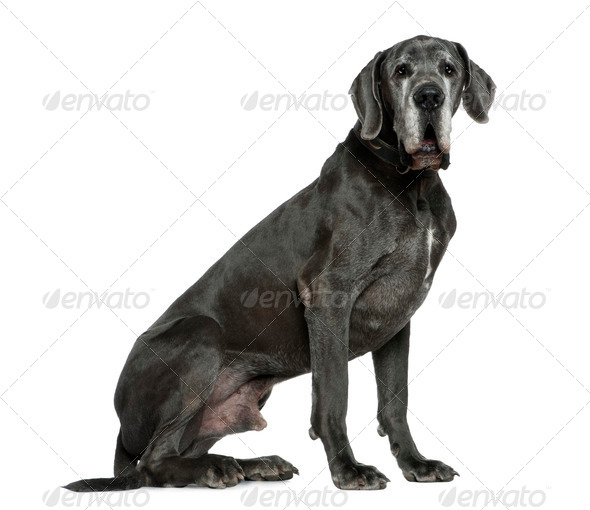 Great Dane, 6 years old, sitting in front of white background - Stock Photo - Images