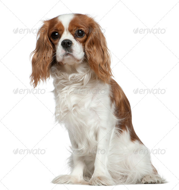 Cavalier King Charles Spaniel, 2 years old, sitting in front of white background - Stock Photo - Images