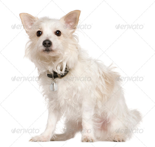 West Highland Terrier mixed with a Papillion dog, 5 years old, sitting in front of white background - Stock Photo - Images