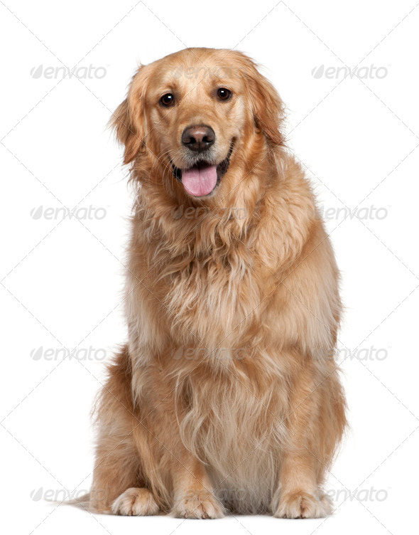 Labrador Retriever, 2 and a half years old, sitting in front of white background - Stock Photo - Images