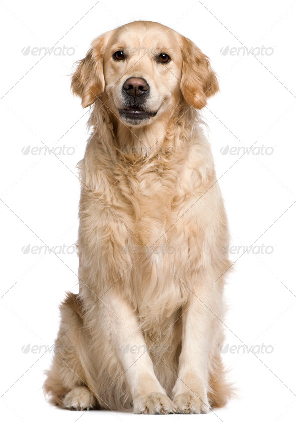Labrador Retriever, 4 years old, sitting in front of white background - Stock Photo - Images