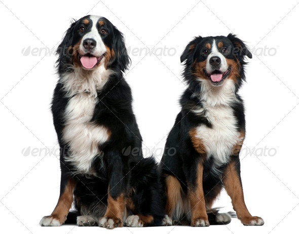 Two Bernese mountain dogs, 14 months and 6 years old, sitting in front of white background - Stock Photo - Images