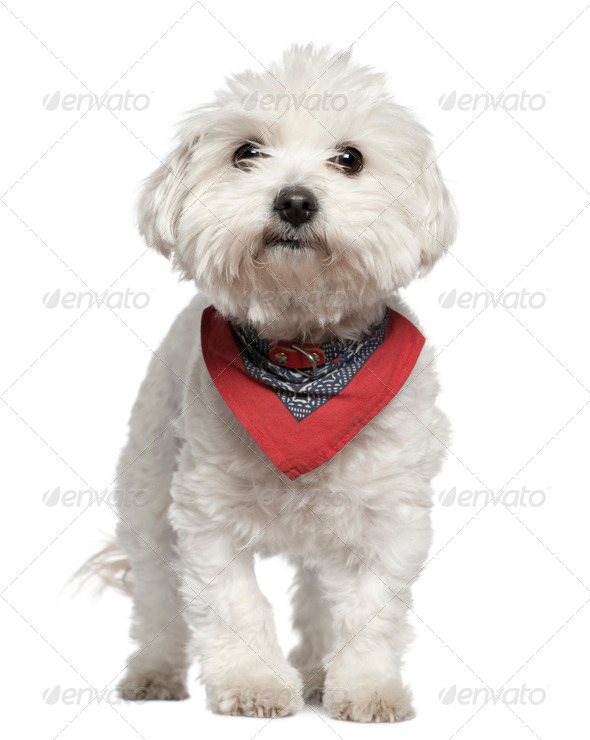 Maltese dog in handkerchief, 3 years old, standing in front of white background - Stock Photo - Images