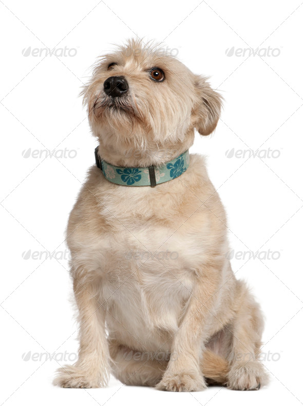 Griffon mixed with a Dachshund, 10 years old, sitting in front of white background - Stock Photo - Images