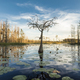 A lone cypress tree stands in a pond of lilypads in the Okefenokee swamp at sunset. - PhotoDune Item for Sale