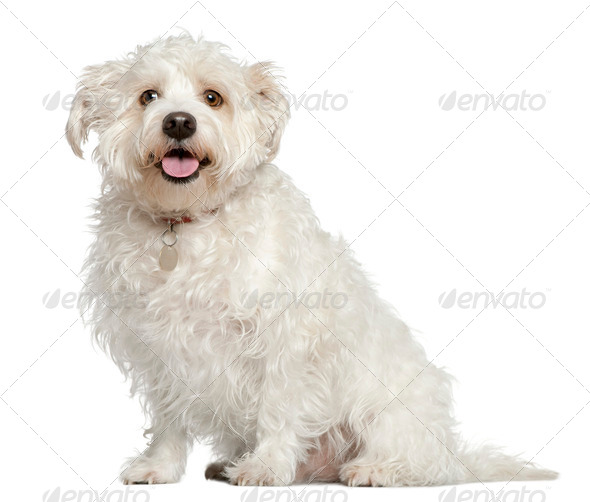 Mixed Maltese dog, 4 years old, sitting in front of white background - Stock Photo - Images