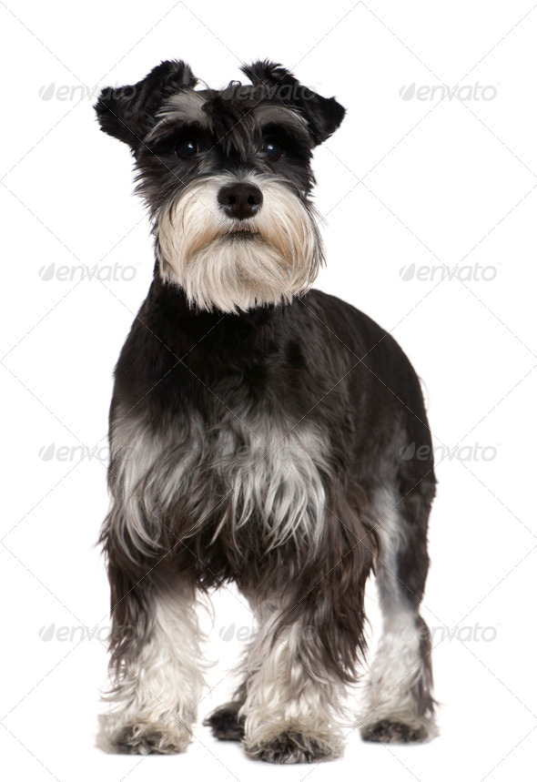 Miniature Schnauzer, 10 months old, standing in front of white background - Stock Photo - Images