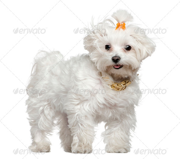 Maltese dog, 3 years old, standing in front of white background - Stock Photo - Images