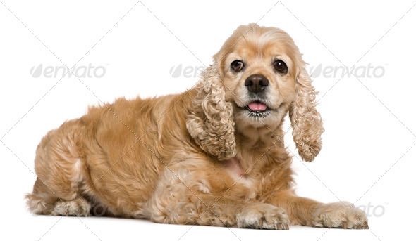 American Cocker Spaniel, 8 years old, lying in front of white background - Stock Photo - Images