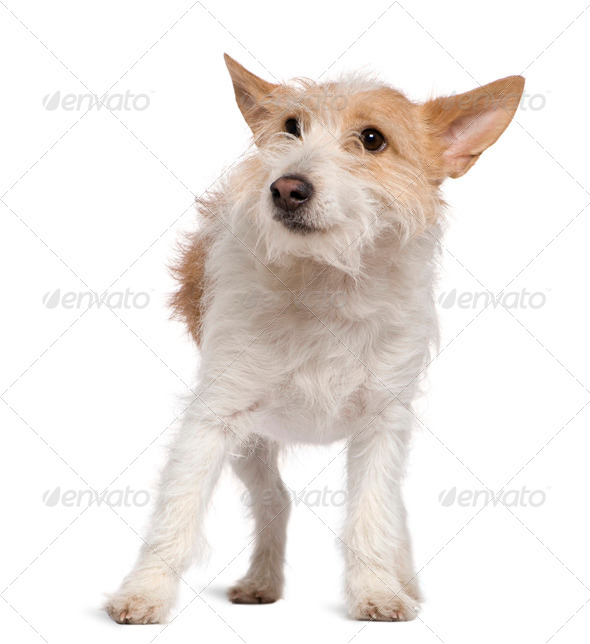 Jack Russell Terrier, 1 and a half years old, standing in front of white background - Stock Photo - Images