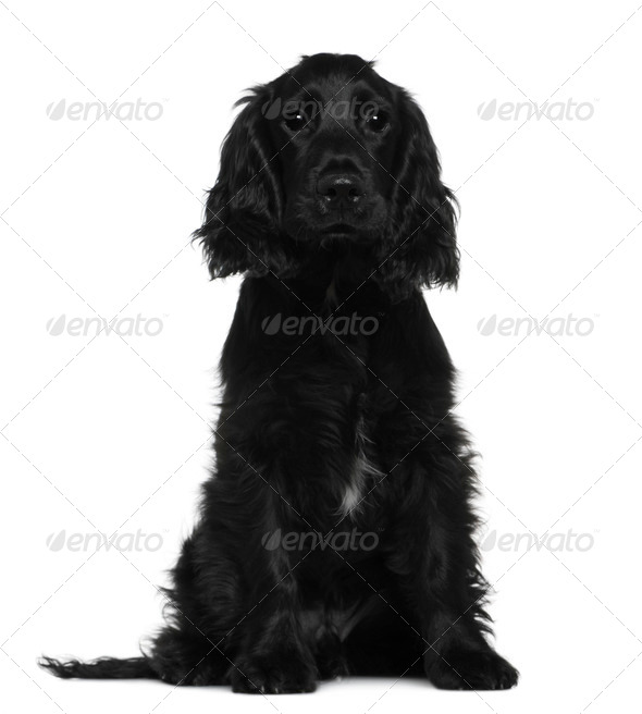English Cocker Spaniel, 5 months old, sitting in front of white background - Stock Photo - Images