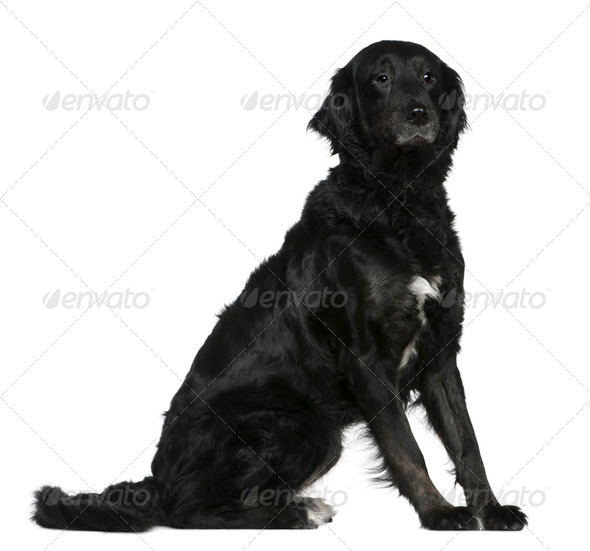 Labrador mixed with a Bernese mountain dog, 6 years old, sitting in front of white background - Stock Photo - Images