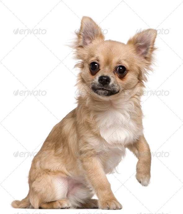 Chihuahua, 6 months old, sitting in front of white background - Stock Photo - Images
