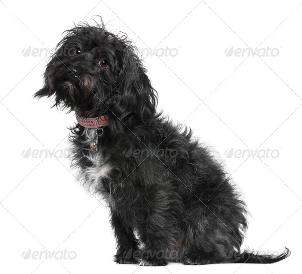 Mixed-breed dog, 10 months old, sitting in front of white background - Stock Photo - Images