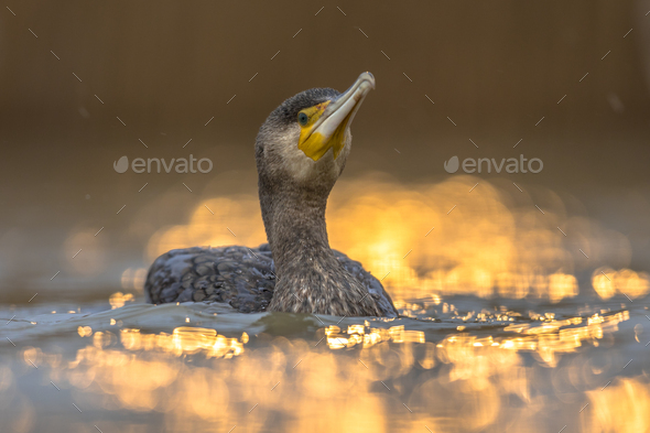 Great Cormorant in sunset reflection - Stock Photo - Images