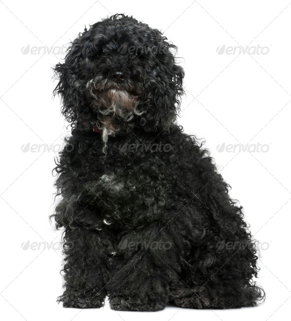 Maltese dog mixed with a Poodle, 11 years old, sitting in front of white background - Stock Photo - Images