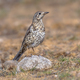 Mistle thrush perched on stone - PhotoDune Item for Sale