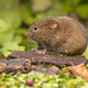Field vole natural environment - PhotoDune Item for Sale