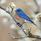 Eastern Bluebird in Plum Tree - PhotoDune Item for Sale
