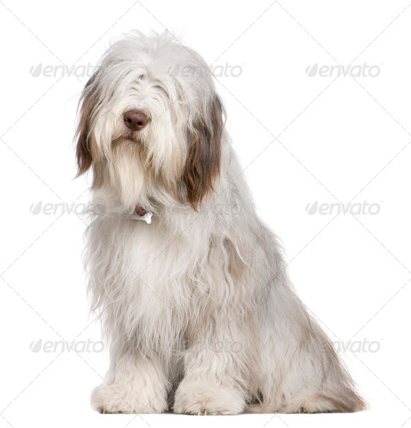 Bearded Collie, 1 year old, sitting in front of white background - Stock Photo - Images