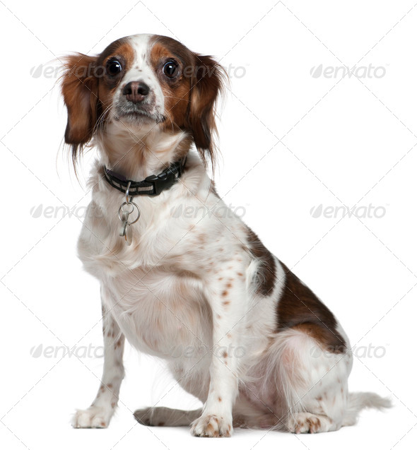 Mixed breed dog, 3 years old, sitting in front of white background - Stock Photo - Images