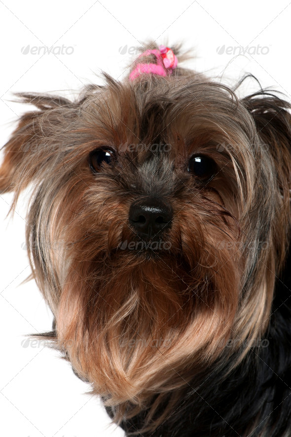 Close-up of Yorkshire Terrier, 8 years old, in front of white background - Stock Photo - Images