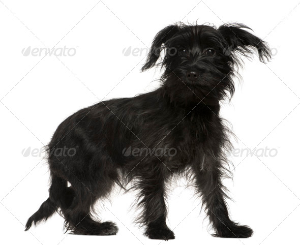 Shih-Tzu mixed with a Yorkshire Terrier, 5 months old, standing in front of white background - Stock Photo - Images