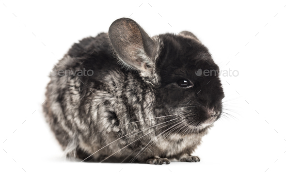 Grey adult Chinchilla standing, isolated - Stock Photo - Images