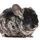 Grey adult Chinchilla standing, isolated - PhotoDune Item for Sale
