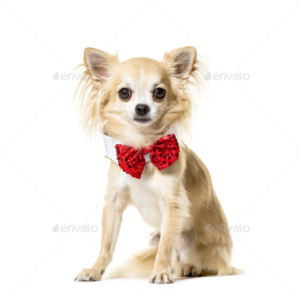 Portrait of a Chihuahua sitting and wearing a bow tie in front, Dog, pet - Stock Photo - Images