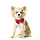 Portrait of a Chihuahua sitting and wearing a bow tie in front, Dog, pet - PhotoDune Item for Sale
